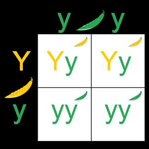 punnet-square